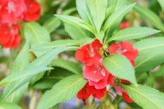 Garden Balsam Impatiens Balsamina Linn flower in garden stock photo
