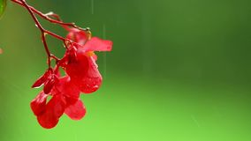 Red impatiens flower on green background in rain, isolated