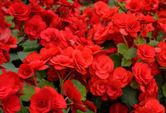 Red Impatiens Flowers Royalty Free Stock Photo