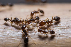 Red imported fire ants. Close up of red imported fire ants (Solenopsis invicta) or simply RIFA stock photo
