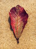 Red Indian almond leave on Sea sand stock photo