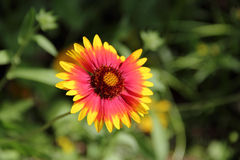 Red Indian Blanket flower Royalty Free Stock Image