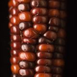 Red Indian corn. royalty free stock photo