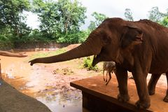 Red Indian elephant stretches from the corral trunk to visitors. A red Indian elephant, standing in a clay pen, stretches the trunk to the visitors hands for a Stock Photo