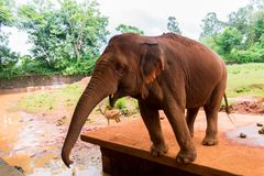 Red Indian elephant stretches from the corral trunk to visitors. A red Indian elephant, standing in a clay pen, stretches the trunk to the visitors hands for a Royalty Free Stock Photography