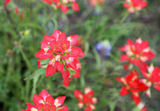 Red Indian Paintbrush flowers Royalty Free Stock Images