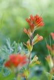 Red Indian Paintbrush Royalty Free Stock Photos