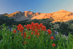 Red Indian Paintbrush in the Utah mountains. Amazing landscape at Albion Basin, Alta, Utah, USA Royalty Free Stock Image