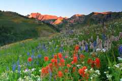 Red Indian Paintbrush in the Wasatch mountains. Stock Photo