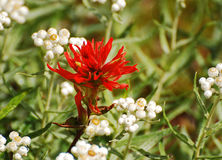 Red Indian Paintbrush wildflower. And white berries Stock Photos