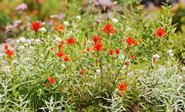 Red Indian paintbrush wildflowers. Blooming in meadows in Mt Rainier Park Stock Photography