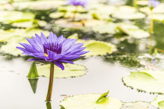 Red indian water lily Stock Photo