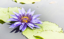 Red indian water lily Stock Image