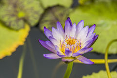 Red indian water lily Royalty Free Stock Image