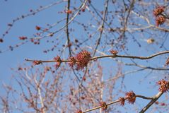 Acer saccharinum flowers. Red inflorescence of Acer saccharinum tree in early springtime stock image