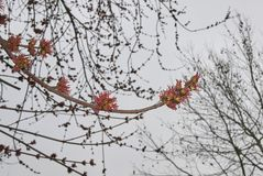 Acer saccharinum flowers. Red inflorescence of Acer saccharinum tree in early springtime stock images