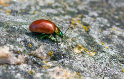 Red insect with beautiful texture Stock Images