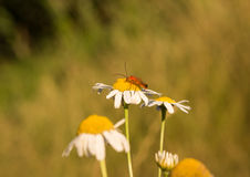 Red insect. Bewhiskered insect sitting on a summer daisy stock photo