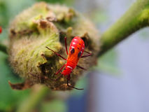 Red insect in the garden Royalty Free Stock Images