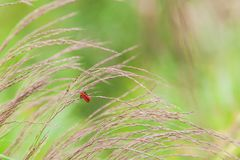 Red insect on Grass flower. In National Park,Thailand royalty free stock photography