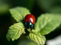 Red insect on green leaf Stock Images