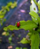 A Red Insect In My Garden. Eating my plant Stock Images