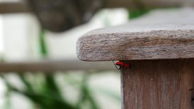Red insect in nature. Red insect moving in nature stock video footage