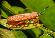 Red Insect Royalty Free Stock Photography