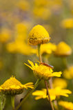 Red insect on yellow daisy flower field Royalty Free Stock Image
