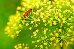 Red insect on yellow flower. Macro red insect or bug on blooming yellow dill flower, green background royalty free stock photo