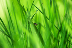 Red insect on young green grass royalty free stock image