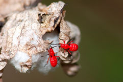 Red insects on Cotton Boll. Two immature Cotton Stainers crawl over an opening boll of cotton Royalty Free Stock Image