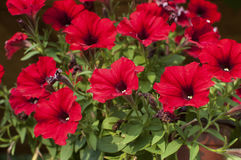 Red Ipomoea purpurea flower. Purple morning glory ipomoea purpurea flowers stock image