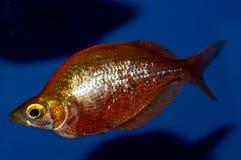 Red Irian Rainbowfish Male Stock Image
