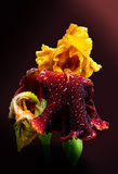 Red Iris. Covered in rain drops, close-up Royalty Free Stock Photos