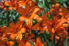 Red Iris Flowers Stock Photography