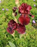 Red Irises Stock Photos