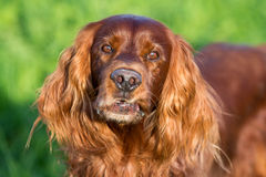Red irish setter. Dog surprised Stock Images
