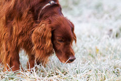 Red irish setter Stock Photo