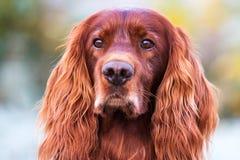 Red irish setter Royalty Free Stock Photography