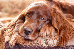 Red irish setter. Dog portrait Royalty Free Stock Photos