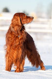 Red irish setter. Dog in snow field Royalty Free Stock Photos