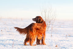 Red irish setter. Dog in snow field Royalty Free Stock Photo