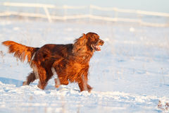 Red irish setter. Dog in snow field Stock Photography