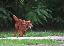 Red irish setter in action royalty free stock photography