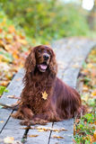 Red irish setter dog. In autumn park Stock Photo