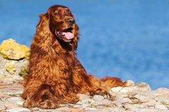 Red irish setter dog. Near blue lake Royalty Free Stock Image