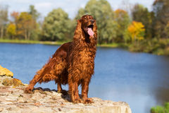 Red irish setter dog Stock Image