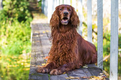 Red irish setter dog. In wooden bridge Stock Images