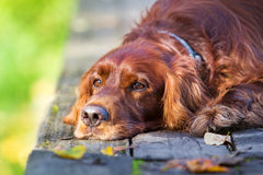 Red irish setter dog. In autumn wooden bridge Royalty Free Stock Photos